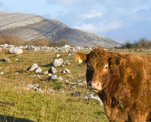 Bull in Galway