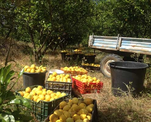 Lemon Farm Portugal
