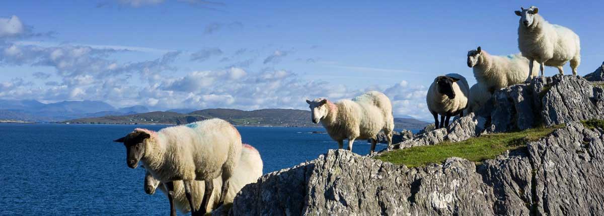 Sheep on the Beara Peninsula